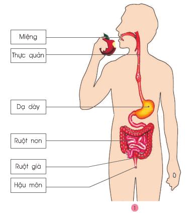 Bài 5: Cơ quan tiêu hoá