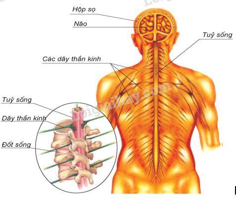 Bài 12: Cơ quan thần kinh